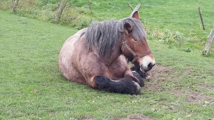 Belgisch paard bij de Vilt in Beugen op een wandeling over het Maaspad van Beugen naar Cuyk