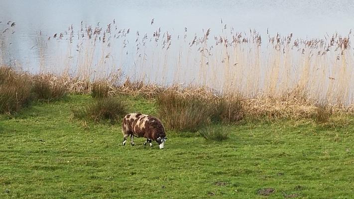 Schaap bij Kampuswiel tijdens wandeling over het Maaspad van Heusden naar Waalwijk
