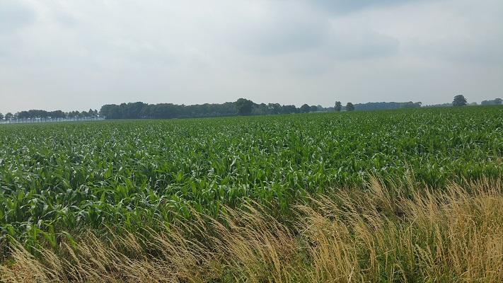 Wandelen over het Marikenpad bij maïsvelden richting Baarlesebaan