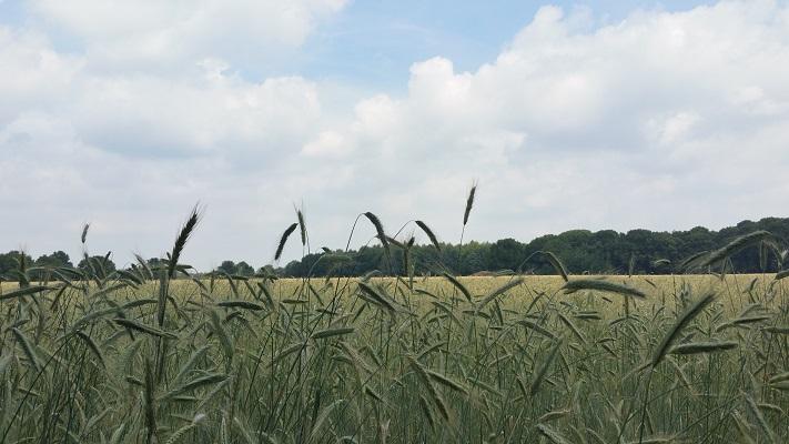 Wandelen over het Marikenpad bij graanvelden bij de Regteheide
