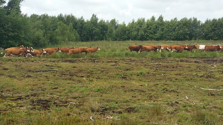Runderen op het Bargerveen op een wandeling van Klazienaveen naar Schoonebeek over het Noaberpad