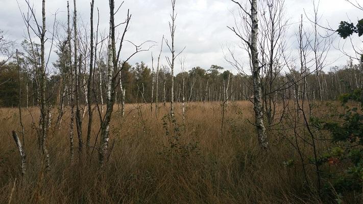 Wandelen over het Peelpad bij berkenbomen in de Peel