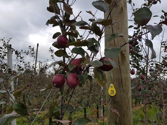 Wandelen over het Romeinse Limespad bij appeloogst in Cothen