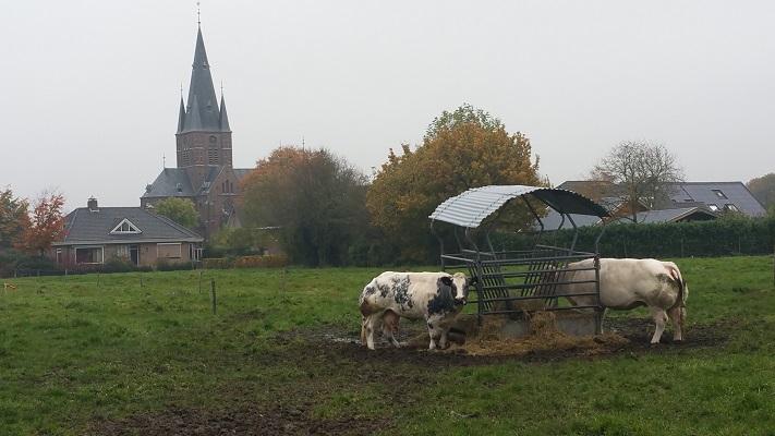 Koeien bij Bergharen op een wandeling van Hernen naar Winssen over het Roots Natuurpad