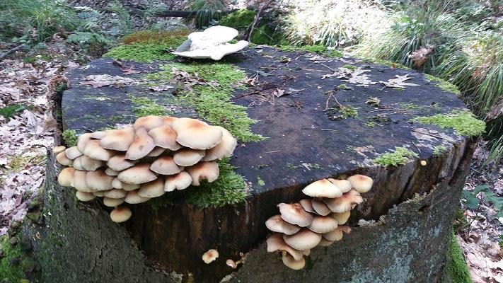 Paddestoelen in de Geelders tijdens een wandeling van Liempde naar Schijndel over het Roots Natuurpad