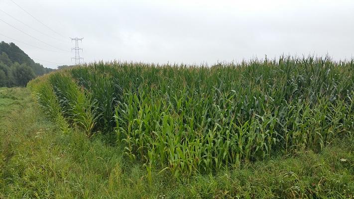 Maïs op wandeling over het Roots Natuurpad van Schijndel naar Veghel