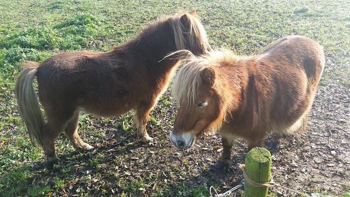 Paarden bij Huisseling op wandeling van Uden naar Ravenstein over het Roots Natuurpad