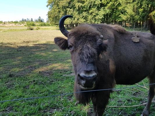 Wisent tijdens wandeling door Wisentpark op wandelreis over Rothaarsteige in Sauerland in Duitsland