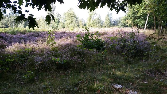 Heide op een wandeling over het Veluwe Zwerfpad van Wolfheze naar Renkum