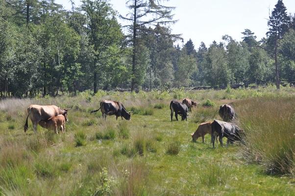 Taurusossen tijdens wandeling met Jos van de Wijst op Maashorst in Uden