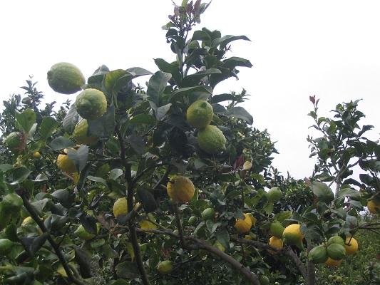 Sinaasappelbomen tijdens een wandelvakantie op Canarisch Eiland Gran Canaria