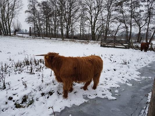 Schotse Hooglander tijdens IVN-wandeling Over Peelrandbreuk en wijstgronden in Uden