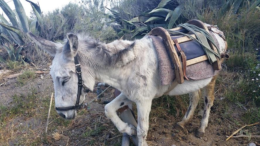 Ezel op wandelpad tijdens wandeling op een wandelvakantie op La Gomera op de Canarische Eilanden