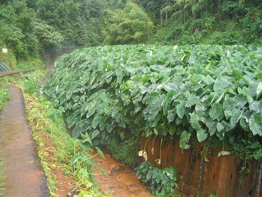 Overweldige plantengroei bij Ribeira Grande tijdens een wandelvakantie op eiland Sao Miguel op de Azoren