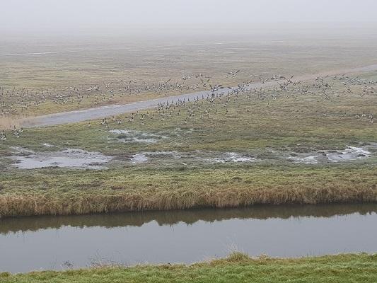 Ganzen in Sabina Henricapolder tijdens een wandeling over het Zuiderwaterliniepad van Dinteloord naar Willemstad