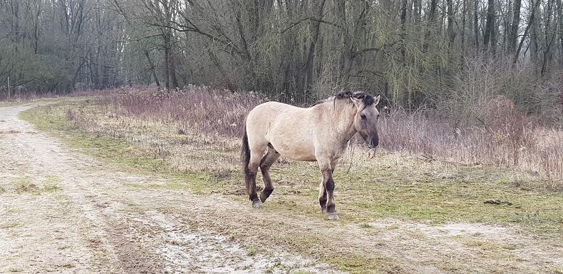 Konikpaard op IVN-wandeling door de Millingerwaard