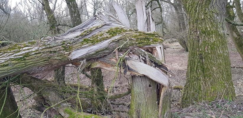 Omgewaaide boom op IVN-wandeling door de Millingerwaard