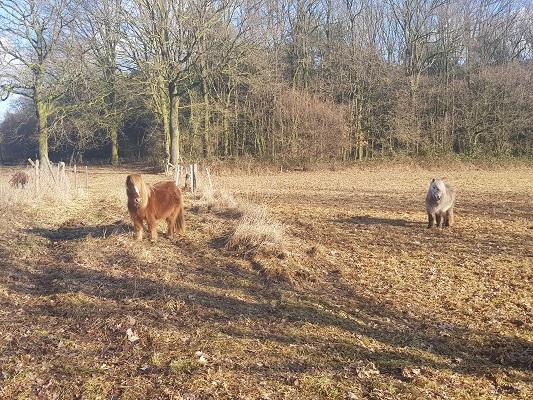 Paarden tijdens IVN-wandeling Zevenhutten bij Cuyk
