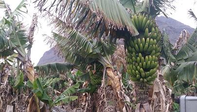Bananenboom en bananen op Canarisch Eiland La Gomera