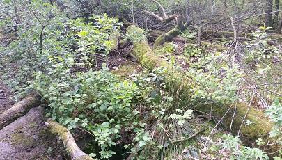 Oerbos in nationaal park Garajonay op Canarisch Eiland La Gomera