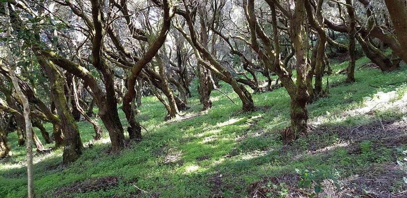 Wandeling op Canarisch Eiland La Gomera van Arure naar Las Hayas in oerbos