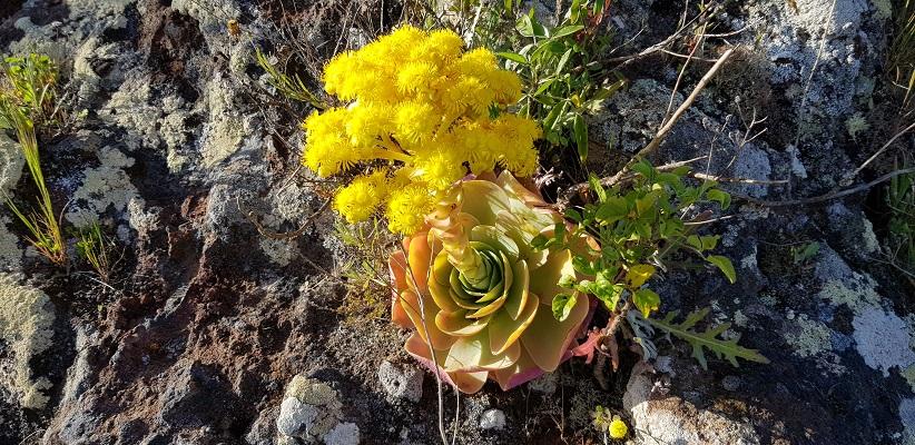 Wandeling op Canarisch Eiland La Gomera van Arure naar Las Hayas bij bloemenweelde