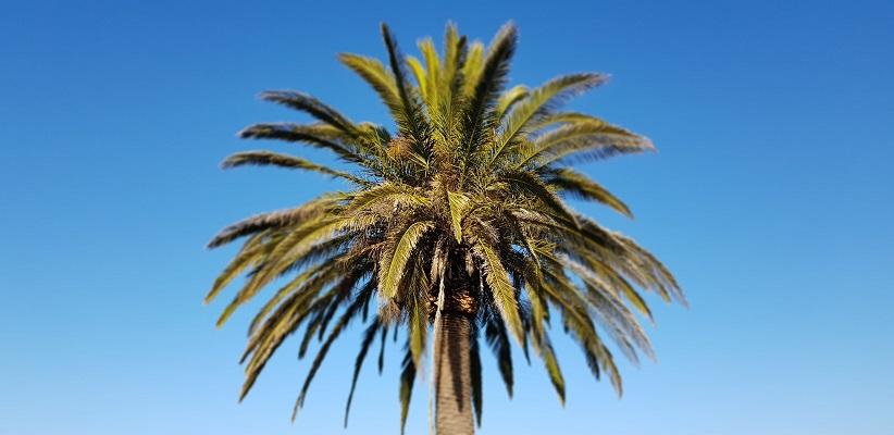 Wandeling op Canarisch Eiland La Gomera van Arure naar Las Hayas onder palmboom