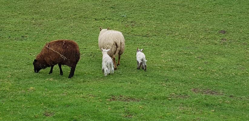 Wandelen over het Romeinse Limespad bij schapen