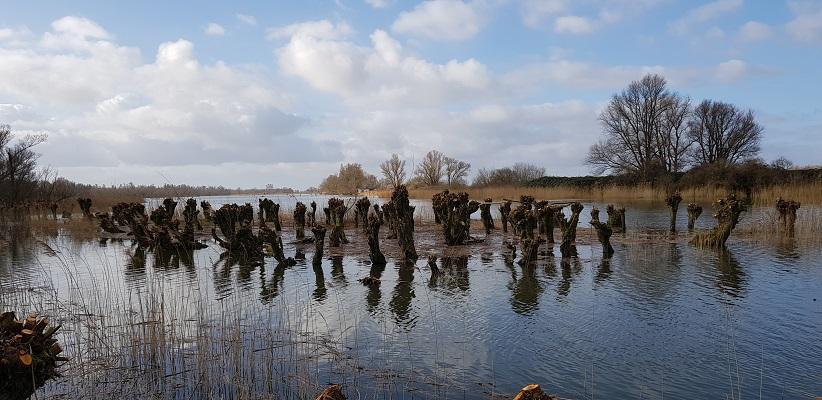 Wandelen over het vernieuwede Waterliniepad door de Noordwaard polder bij knotwilgen bij Pannekoek