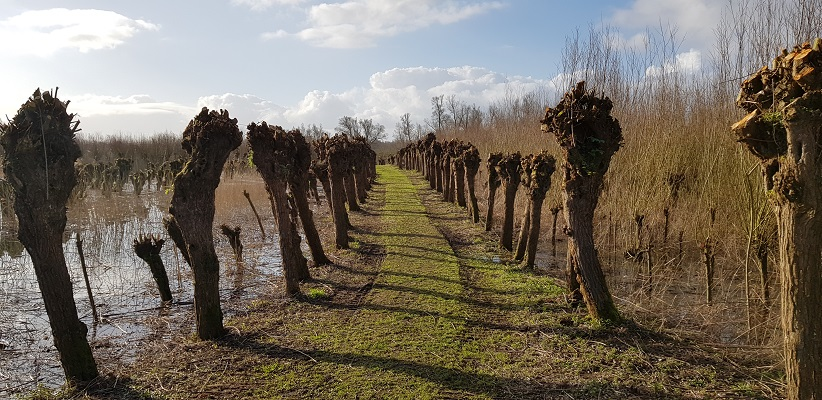 Wandelen over het vernieuwede Waterliniepad door de Noordwaard polder door laan met knotwilgen bij Pannekoek