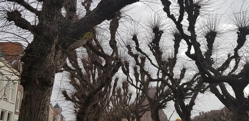 Bomen op marktplein Geertruidenberg op een wandeling over de Zuiderwaterlinie van Oosterhout via Geertruidenberg naar Hooipolder