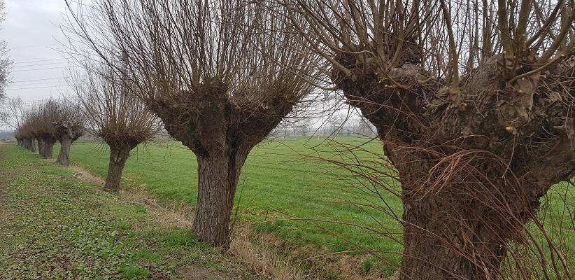 Knotwilgen op een wandeling over de Zuiderwaterlinie van Oosterhout via Geertruidenberg naar Hooipolder