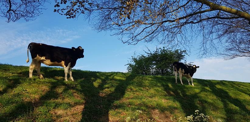 Wandeling over Klompenpad Hamarithapad bij Nederhemert bij koeien op de dijk