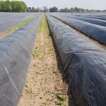 Wandelen over het Peelpad van Altweerderheide naar Stramproy langs aspergevelden