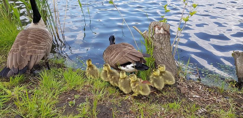 Wandeling van Gegarandeerd Onregelmatig over het Parkstadpad van Wandelen buiten de binnenstad van EIndhoven bij ganzen met jongkies