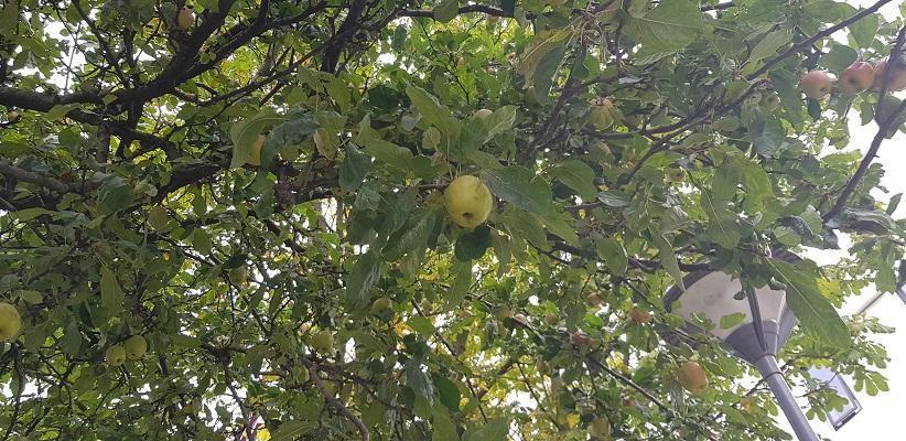 Appels in boom in stad Rotterdam tijdens wandeling Creative Crosswalks Rotterdam