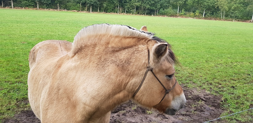 Paard Haflinger tijdens wandeling Heemkundekring Bakel