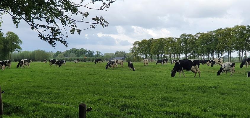 Wandeling over Trage Tocht Sandenburg bij kudde koeien