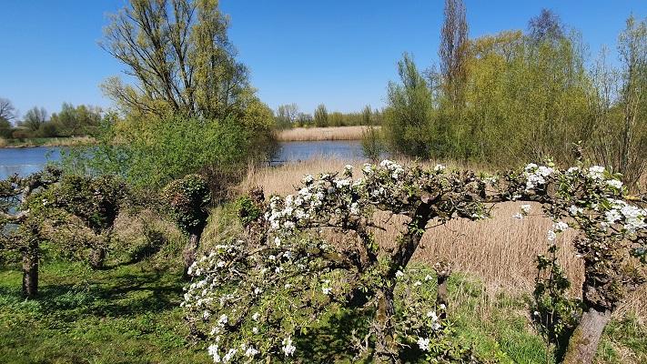 Wandeling over Trage Tocht Asperen bij bloesem langs de Linge