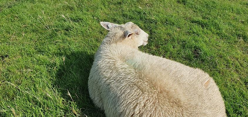 Wandeling over het Groot Frieslandpad van Bellingwolde naar Papenburg bij schapen op de dijk van de Ems