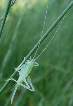 Grasshoppers and Crickets Order Orthoptera Amateur