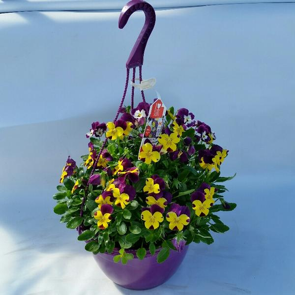 Trailing Plants Hanging Baskets Full Sun