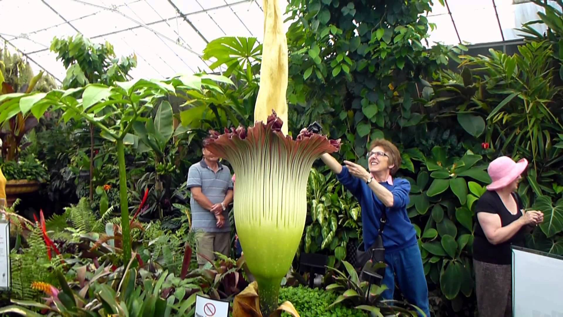 Worlds Largest Flower Titan Arum With Smell Of Rotting