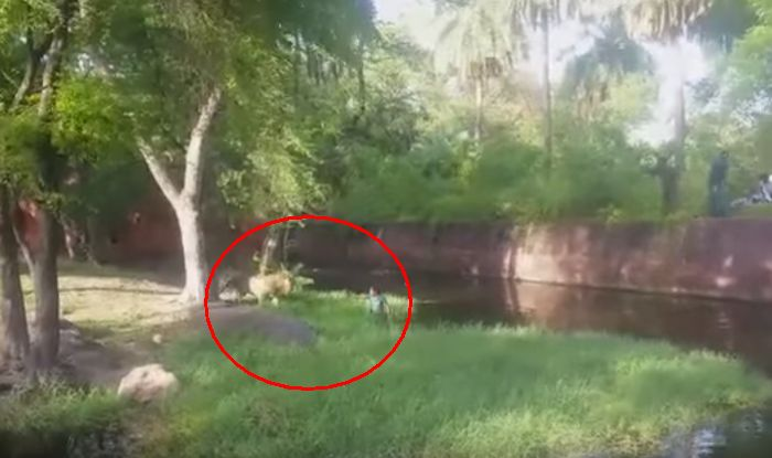 Video After naked man in Chile Hyderabad man jumps into lions cage  The American Bazaar