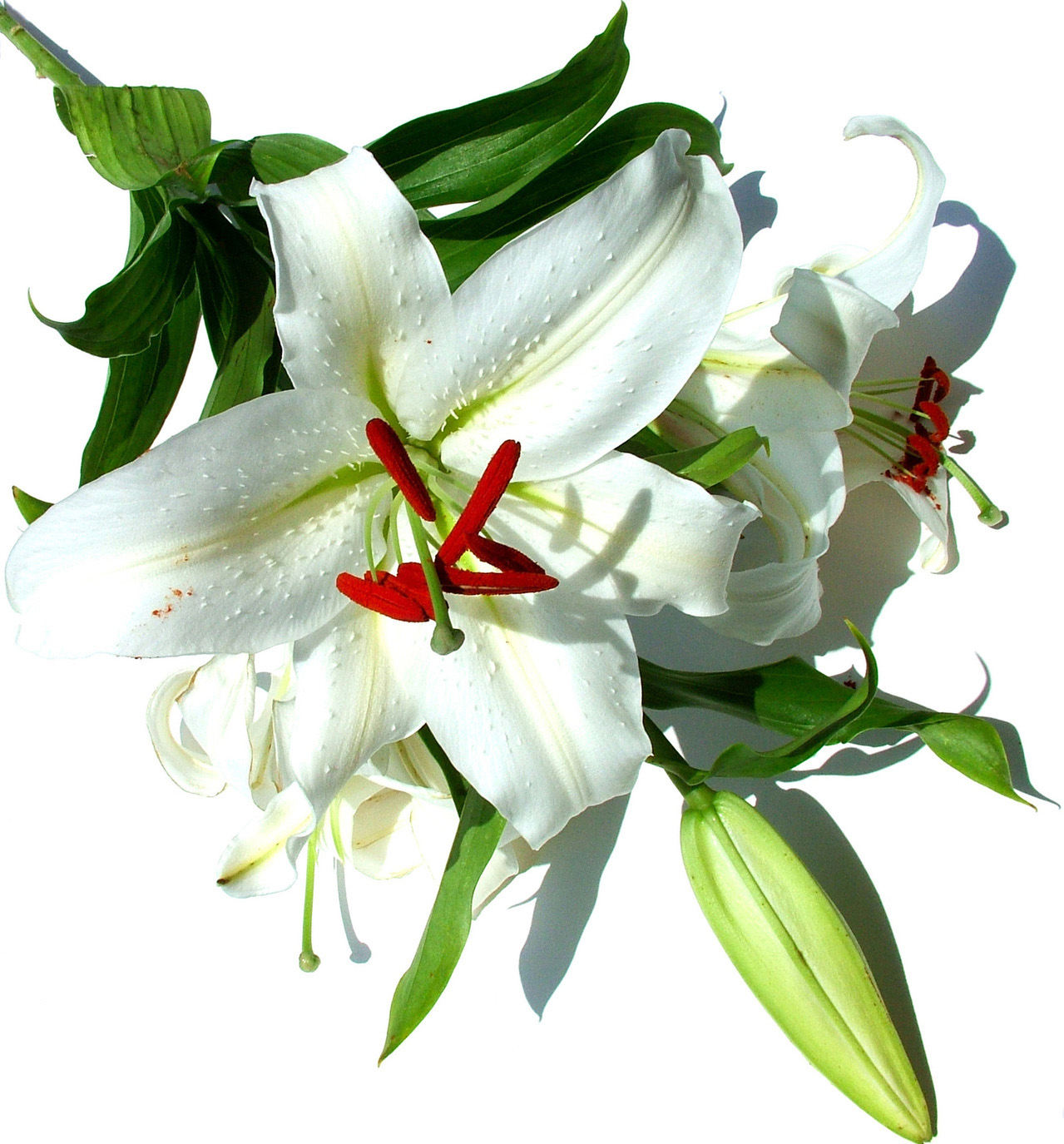 Lillies are Poisonous