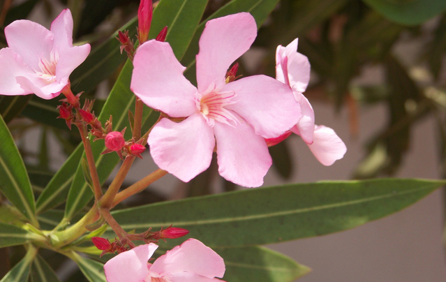 Oleander is toxic