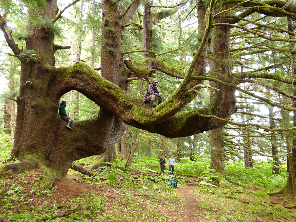 There are two old growth trails north of lake wenatchee in the glacier peak wilderness area that contain scatterings of huge trees: Discover 5 Of America S Old Growth Forests American Forests