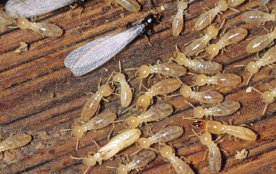 wood termites | American Home Services | Spot termites Orlando