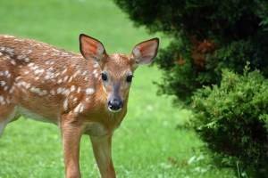 Discover how you can protect your native plants from Bambi!