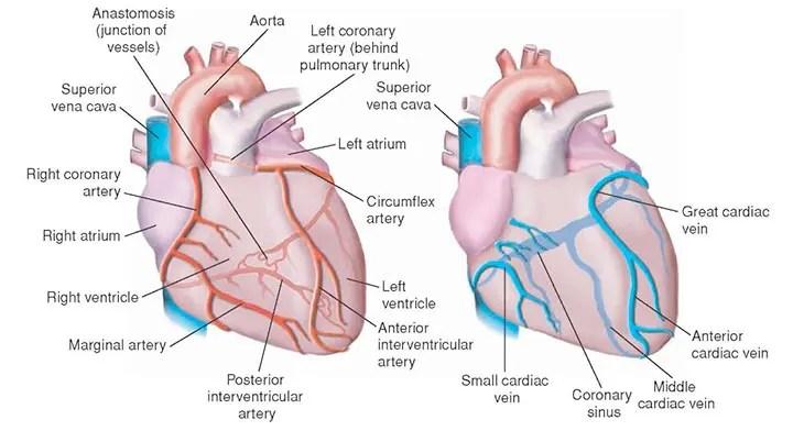 skeletal muscle labeled diagram print 2004 gmc yukon parts emergency cardiac drugs: essential facts for nurses